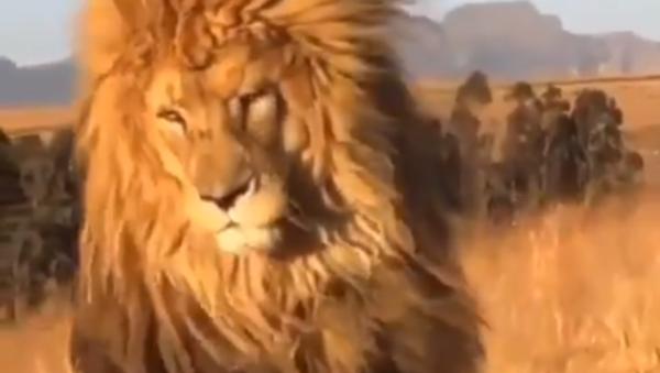 Sono favoloso! Leone fiero mostra la sua fantastica criniera - Video - Sputnik Italia