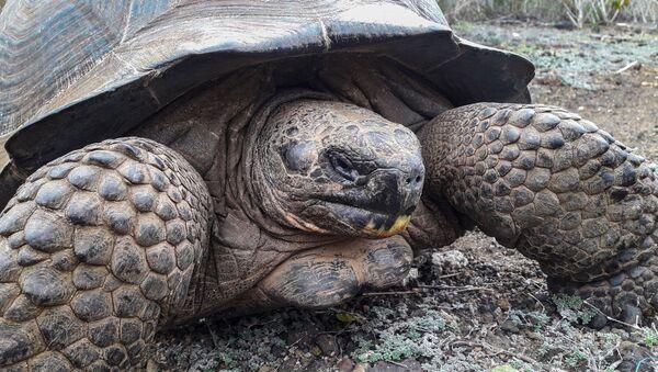 Una tortuga gigante, foto de archivo - Sputnik Italia