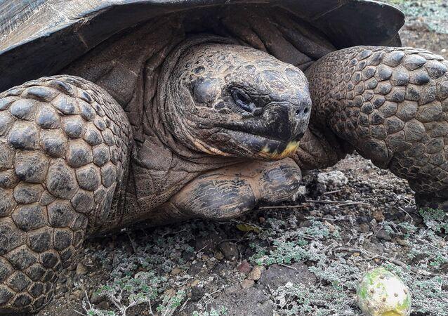 Tartaruga gigante (foto d'archivio)