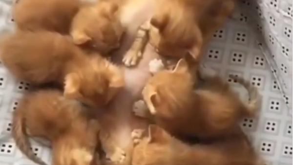 Buffet a pranzo: una gatta che allatta i cuccioli commuove i social - Sputnik Italia