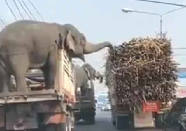Elefanti golosi bloccano il traffico per rubare canne da zucchero da un camion - Video