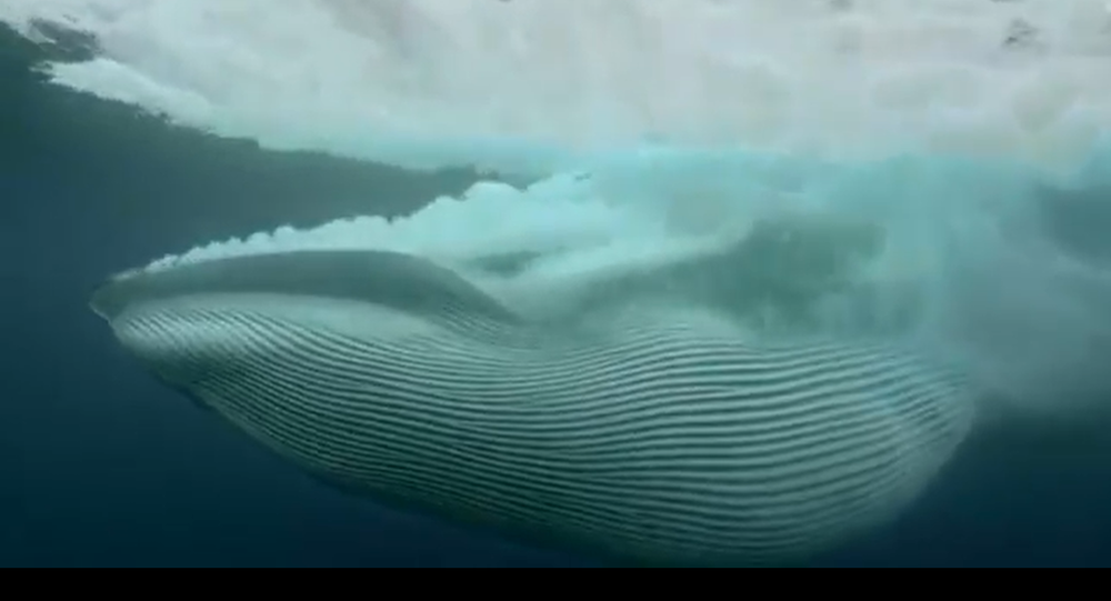 Ecco come una balena divora un banco di pesco in un colpo solo - Video