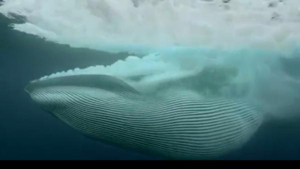 Ecco come una balena divora un banco di pesco in un colpo solo - Video - Sputnik Italia