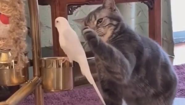 Mangiarlo o non mangiarlo? Un gatto dubbioso fa divertire il web - Sputnik Italia