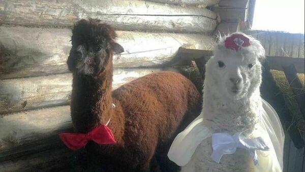 Matrimonio tra alpaca - Sputnik Italia