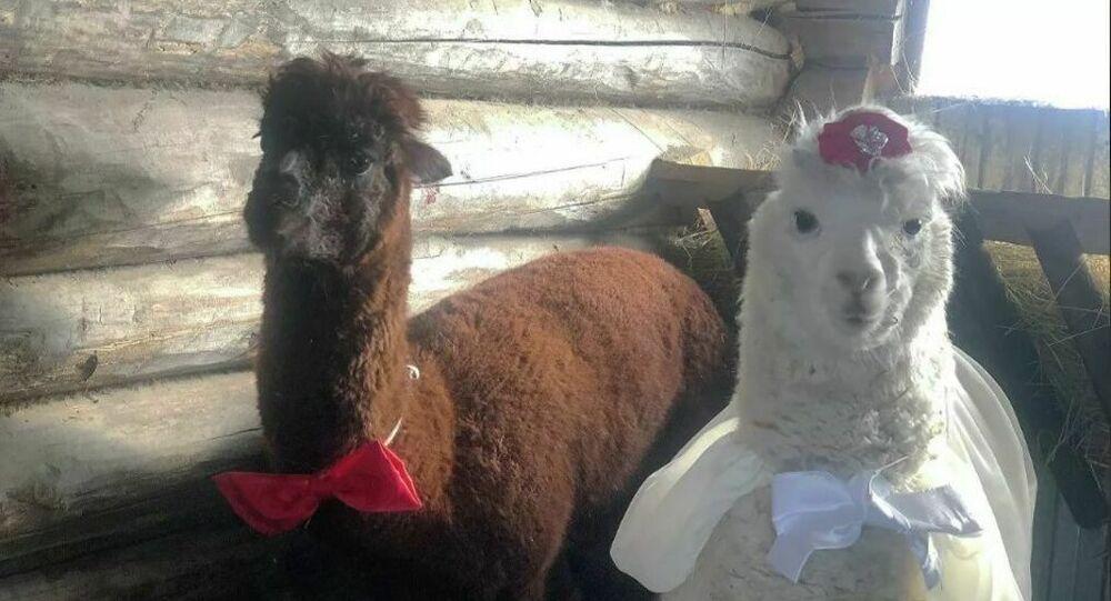 Matrimonio tra alpaca