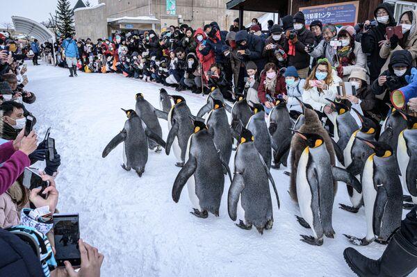 Pinguini reali allo zoo di Asahiyama, Giappone - Sputnik Italia