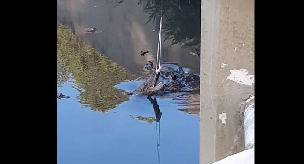 Alligatore addenta il telefono di un turista - Video