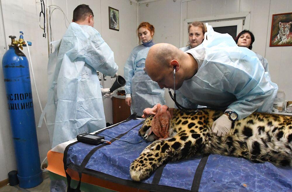 Un veterinario esamina il leopardo dell'Amur Leo 131M Elbrus nel Centro di riabilitazione per tigri ed altri animali a Vladivostok.