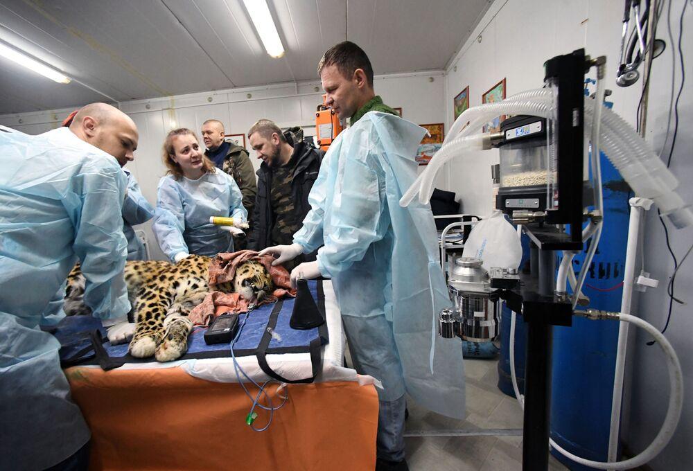 I veterinari esaminano il leopardo dell'Amur Leo 131M Elbrus nel Centro di riabilitazione per tigri ed altri animali a Vladivostok.