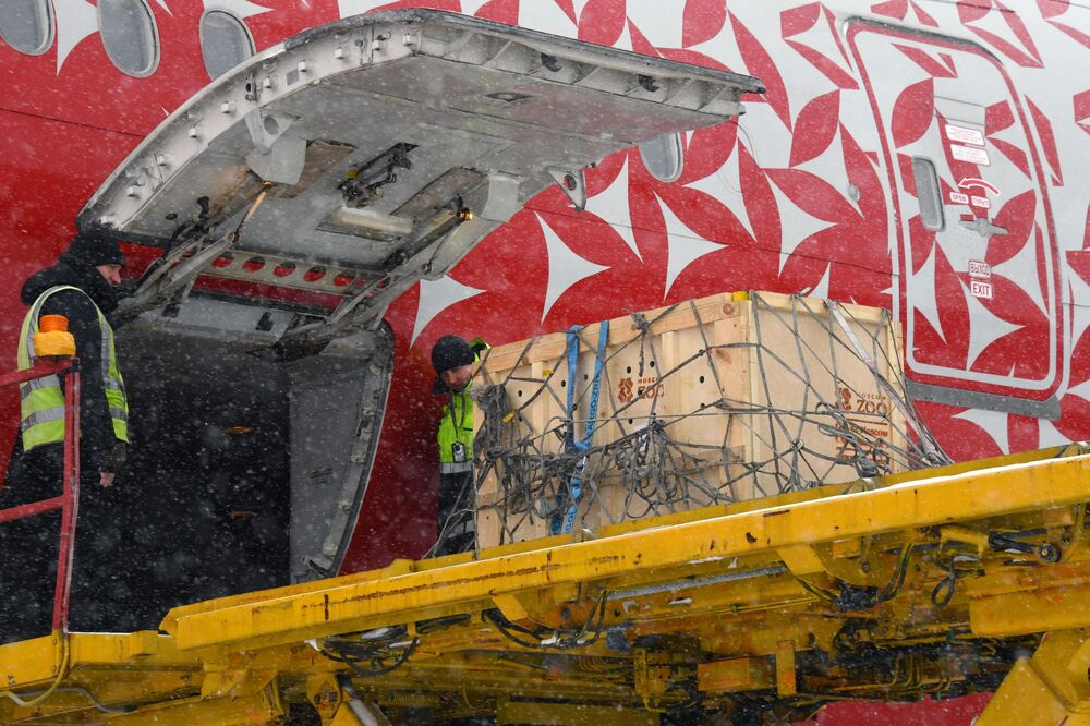 L'aereo della compagnia aerea Rossiya, che porterà il leopardo dell'Amur Leo 131M salvato a Mosca, all'aeroporto di Vladivostok.