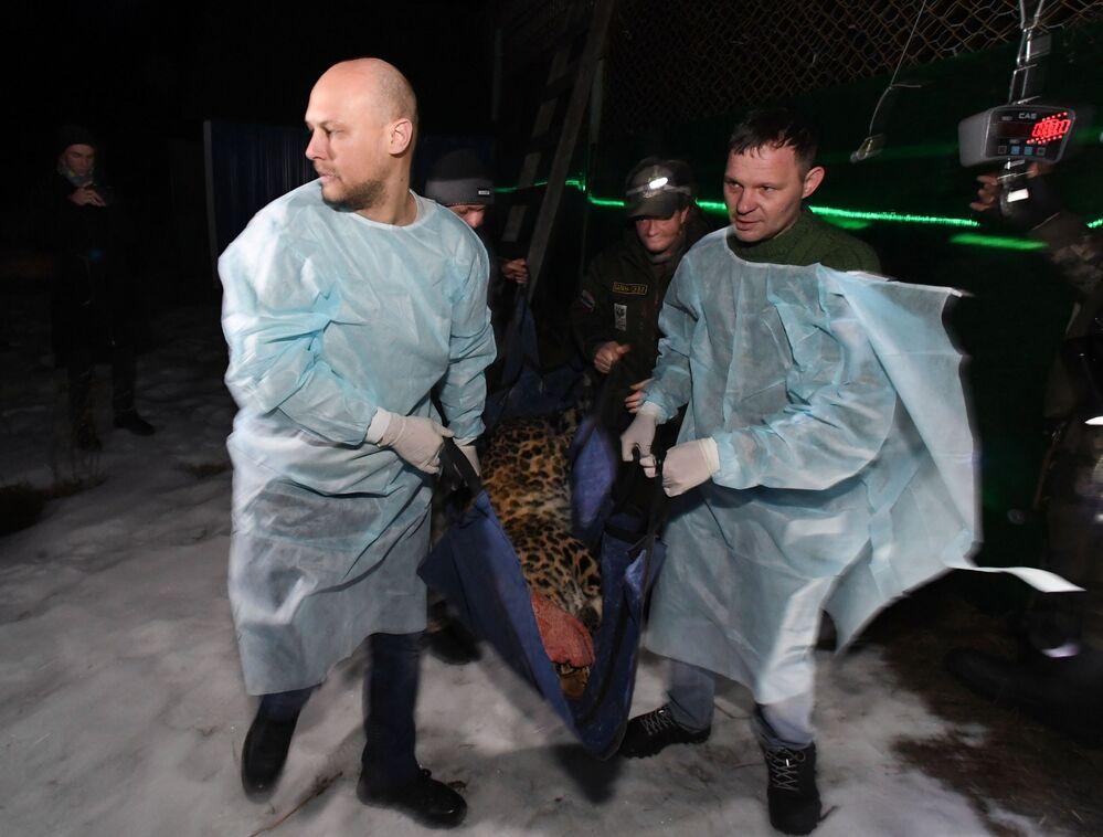 I dipendenti del Centro di riabilitazione per tigri ed altri animali preparano il leopardo al trasferimento da Vladivostok a Mosca.