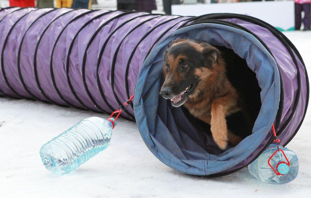 Un pastore tedesco al festival Il mio cane è un supereroe a Mosca.