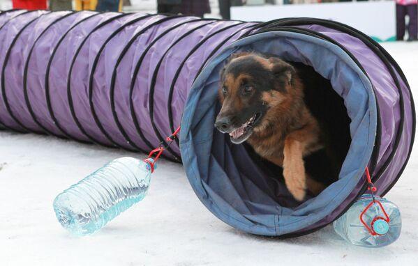 Un pastore tedesco al festival Il mio cane è un supereroe a Mosca. - Sputnik Italia