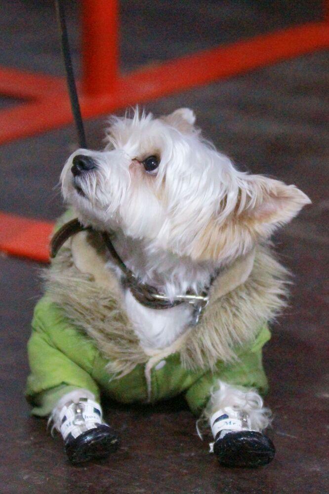 Un bichon al festival Il mio cane è un supereroe a Mosca.