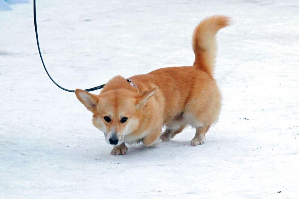 Un Welsh corgi al festival Il mio cane è un supereroe a Mosca.