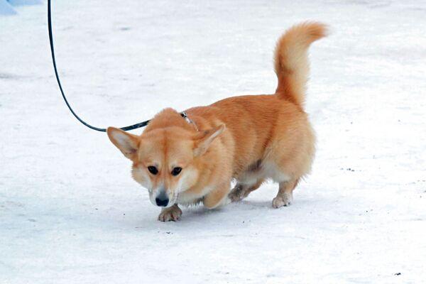Un Welsh corgi al festival Il mio cane è un supereroe a Mosca. - Sputnik Italia
