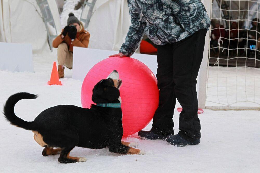 Un bovaro dell'Entlebuch al festival Il mio cane è un supereroe a Mosca.