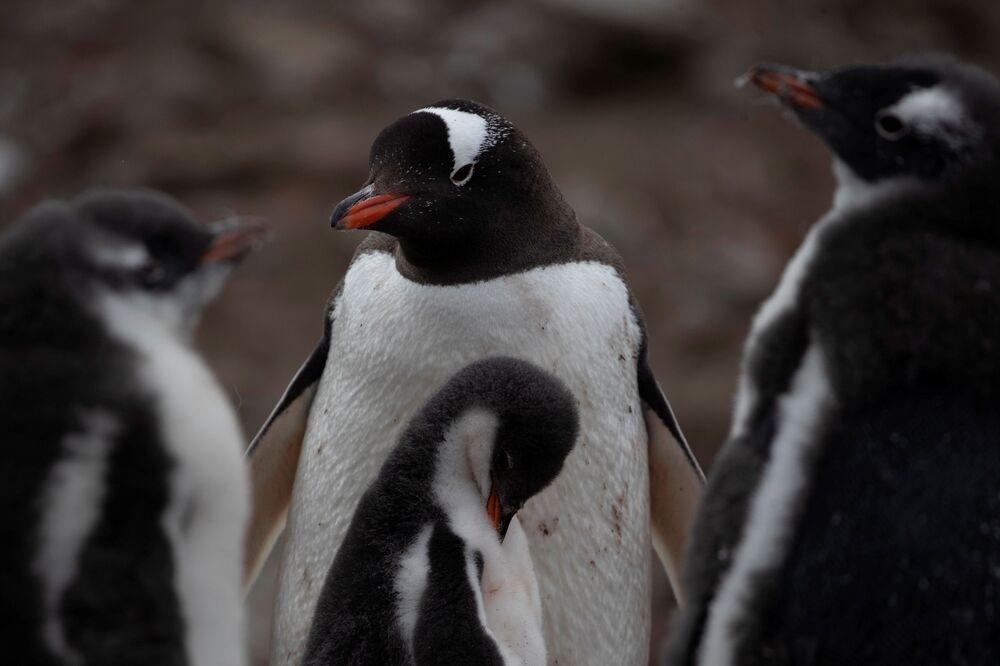 I pinguini Papua, L'Isola di Snow nella Regione antartica