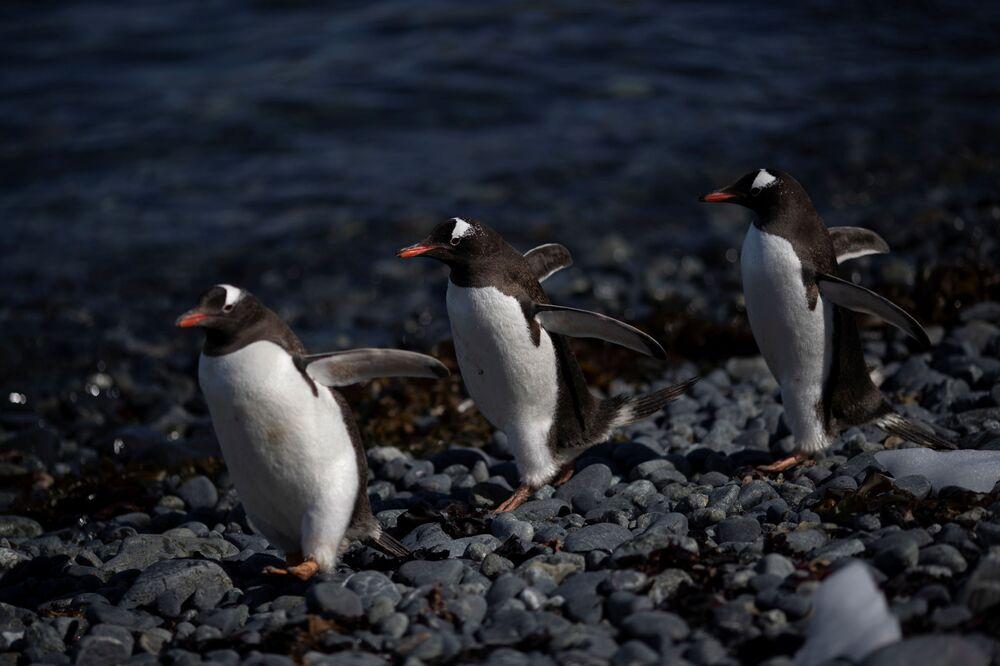 I pinguini Papua, l'isola di Anvers, Antartide, il 4 febbraio 2020