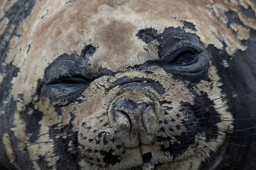 Una foca sull'Isola di Snow nella Regione antartica, il 30 gennaio 2020