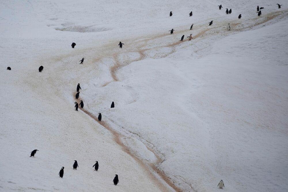 I pinguini Papua, l'isola di Two Hummock nella Regione antartica