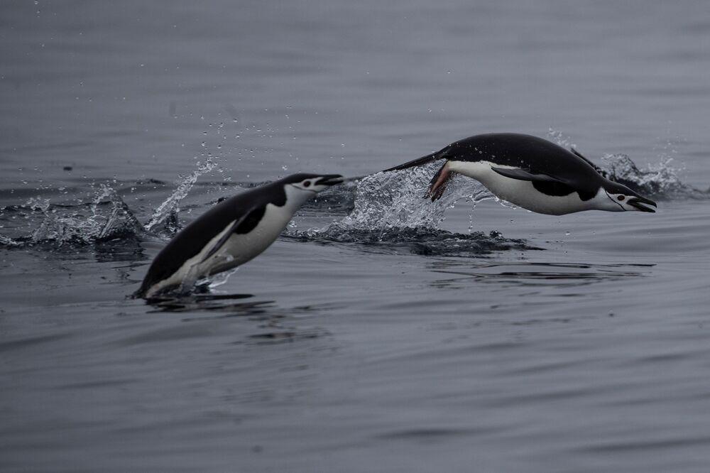 I pinguini Papua, l'isola di Two Hummock nella Regione antartica, il 2 febbraio 2020