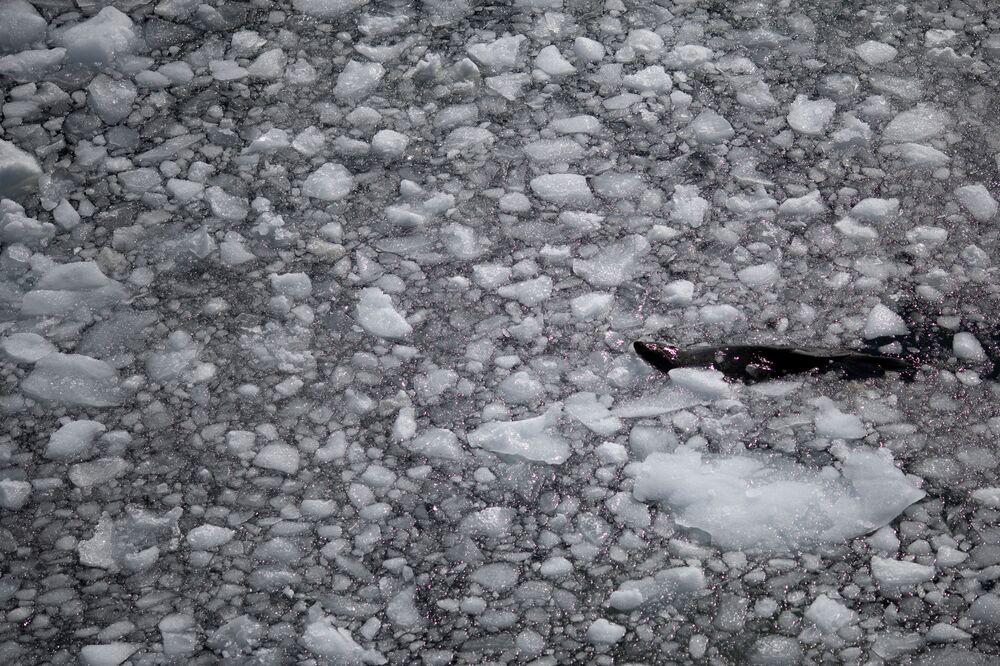 Una foca, l'isola di Anvers nella Regione antartica, il 4 febbraio 2020