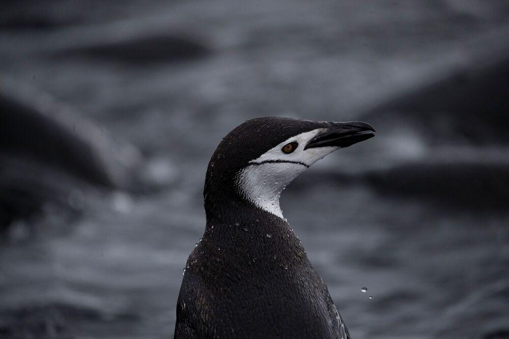 Un pinguino Papua, L'Isola di Snow nella Regione antartica