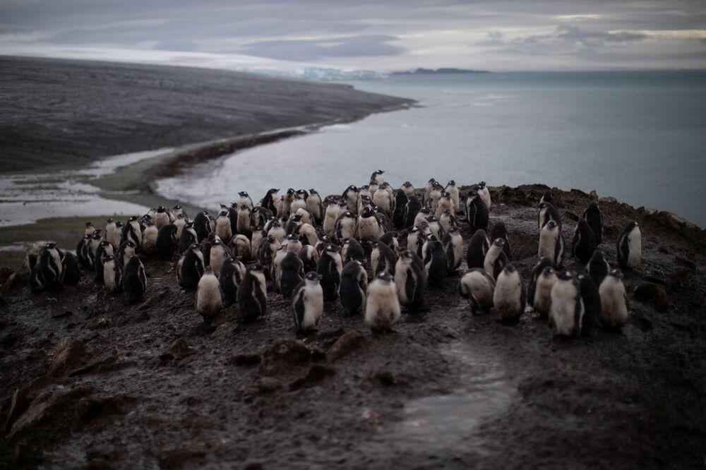 I pinguini Papua, L'Isola di Snow nella Regione antartica, il 31 gennaio 2020