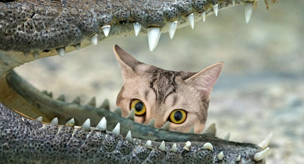 Un chat et un alligator