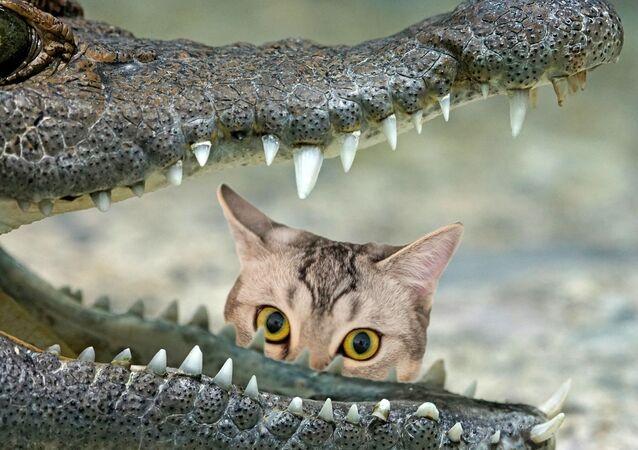 Un chat et un alligator
