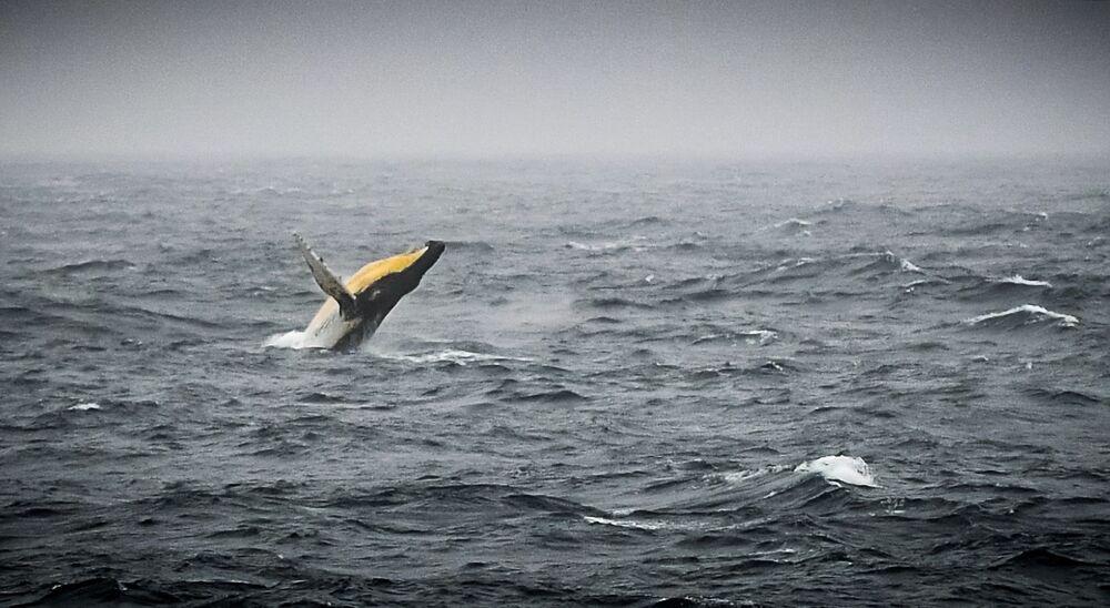 Una megattera nel mare di Bellingshausen al largo della costa dell'Antartide