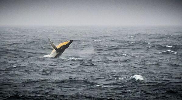 Una megattera nel mare di Bellingshausen al largo della costa dell'Antartide - Sputnik Italia