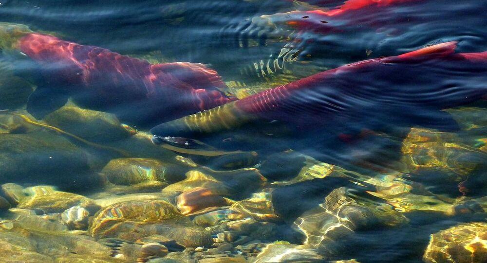 Salmones (imagen referencial)