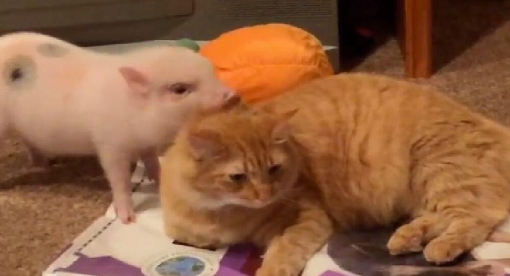 Mini Maialino tenta di curare il pelo di un gatto