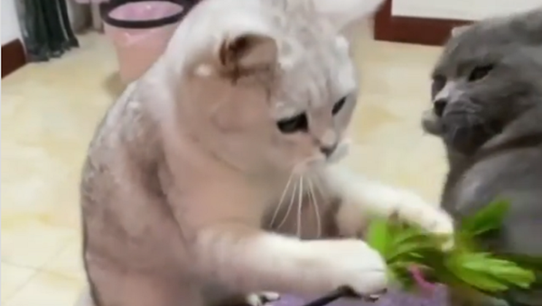 La slow-motion di una zuffa tra due gatti giocherelloni fa impazzire il web - Sputnik Italia