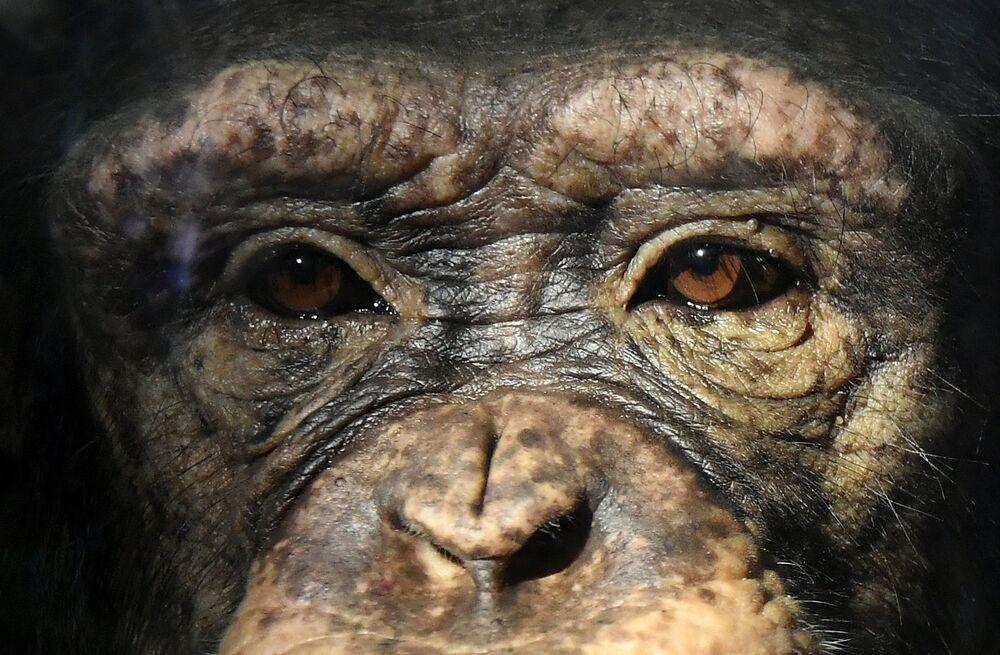 Scimpanzé Anfisa allo zoo di Royev Ruchey a Krasnoyarsk, Russia