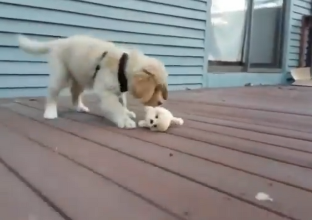 "Golden Retriever gioca con una sua ""mini-copia"" di peluche - Video"