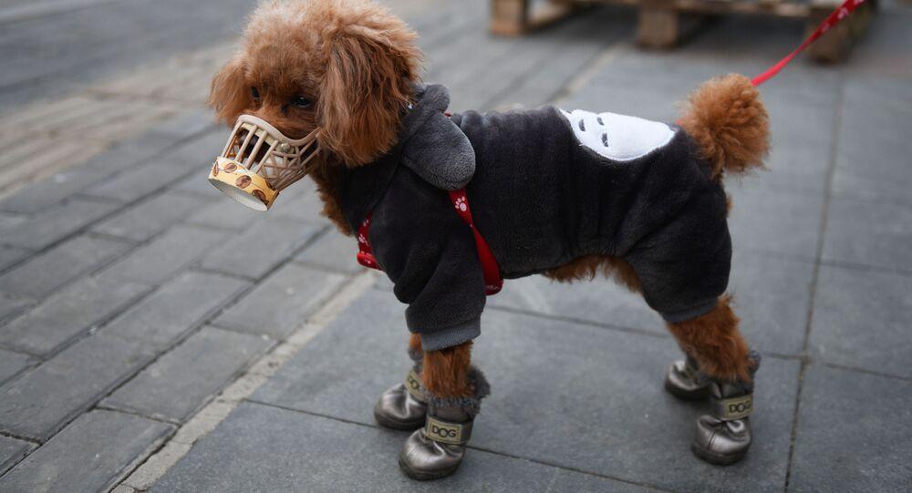 Un cane in una mascherina a Pechino