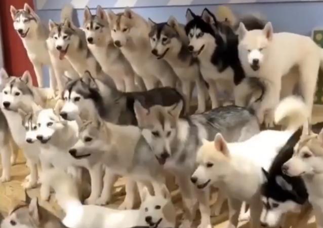 Distesa adorabili husky