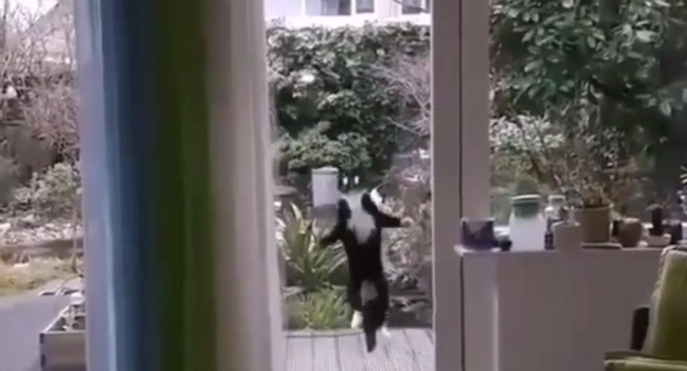 Fatemi entrare! Gatto saltatore colpisce il web