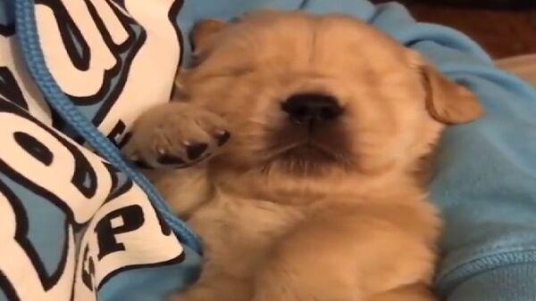 Adorabile cucciolo di Golden Retriever si addormenta tra le braccia del padrone - Sputnik Italia
