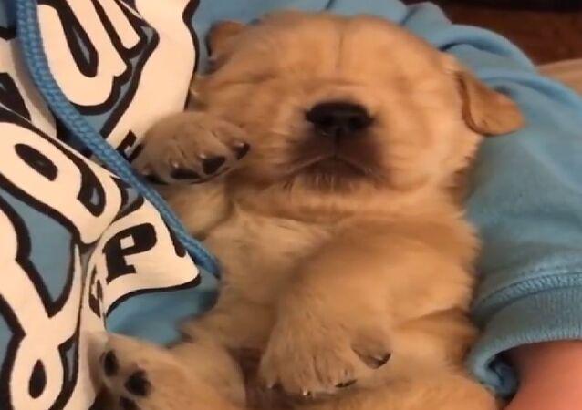 Adorabile cucciolo di Golden Retriever si addormenta tra le braccia del padrone