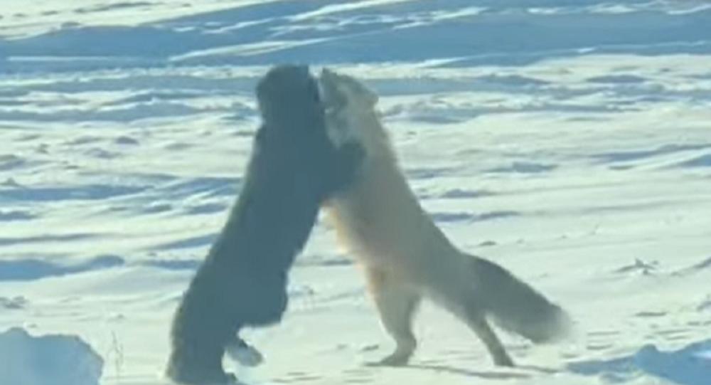 Ripresa una lotta tra due volpi nel mezzo di un deserto innevato - Video