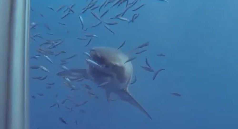 Morso letale: uno squalo mette alla prova la resistenza della gabbia di un sub