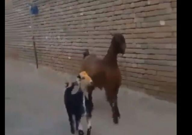 Due capre hanno il ritmo nel loro sangue
