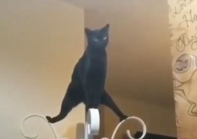 Nei social utenti entusiasti di una gatta nera che emula Jean-Claude Van Damme