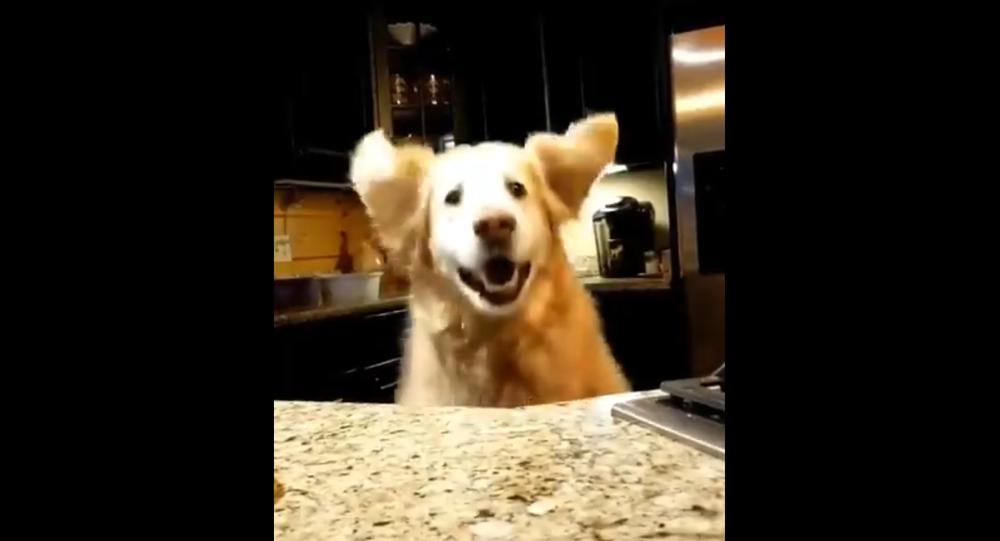 Dammi la merendina! Curioso Golden Retriever salta per vedere cosa c'è sul tavolo - Video
