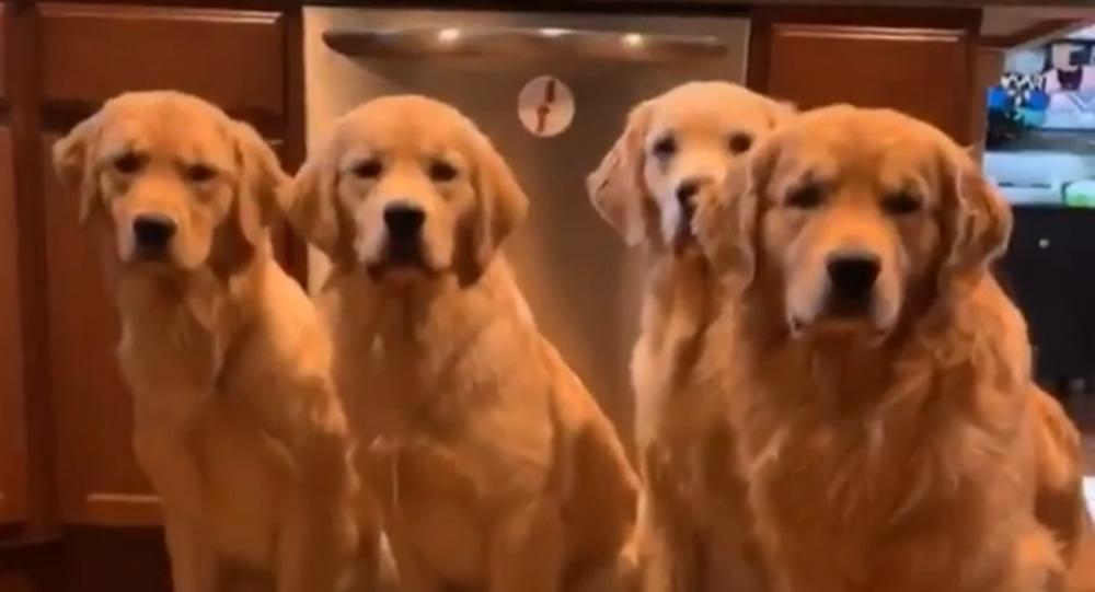 Abbiamo fame! Gruppo di Golden Retriever aspetta con impazienza la cena